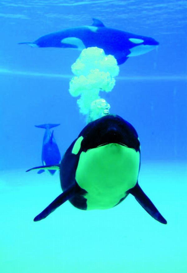 The intelligent orcas present a spectacular show
